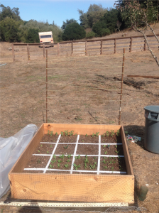 Seedlings have emerged and the trellis is ready for the peas!