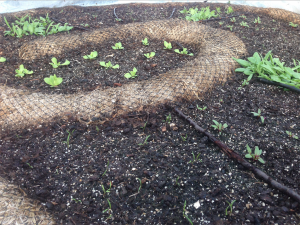 "Carrot, Beet, and Spinach sprouts in the ""Cinnamon Roll"" established 7 weeks ago."