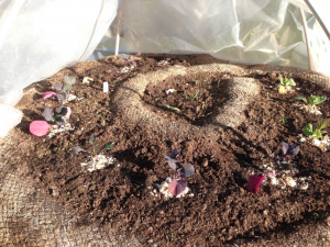 Crushed egg shells surround the cabbage plants to protect from cabbage worms. This has proved successful so far!