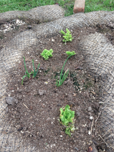 Here are some celery, lettuce, and onion butts I have planted and are resprouting!