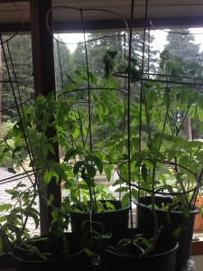 Woah! Hello bushy tomato plants!