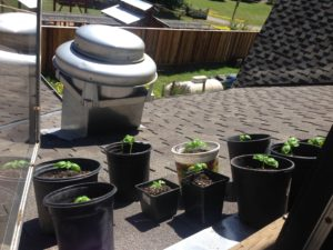 Basil plants soaking up the warm sun.